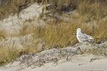 Adult female Snowy Owl in late November.