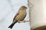 Adult female House Finch at feeder in early December.