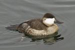 Male Ruddy Duck in early December.