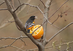 Adult male Baltimore Oriole feeding on orange in mid-December.