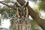 Long-eared Owl in mid-February.