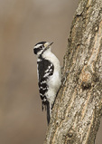Female Downy Woodpecker in mid-December.