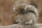 Eastern Gray Squirrel in early January.