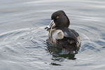 Adult male Ring-necked Duck in late eclipse plumage scratching in early January.