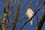Subadult Cooper's Hawk in early January.