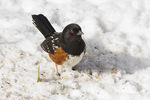 Male Spotted Towhee in late February.