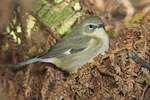 Adult Female Black-throated Blue Warbler in mid-October on fall migration.