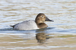 Female Canvasback in mid-January.
