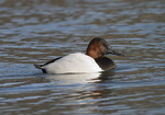 Adult male Canvasback in mid-January.
