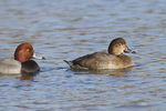 Redhead pair, female at right, in mid-January.