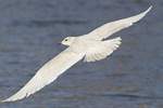 First cycle Iceland Gull in flight in mid-February.