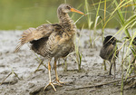 Adult Clapper Rail with chick in salt marsh in early July.