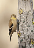 Male American Goldfinch on thistle sock feeder in early December.