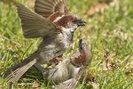 Male House Sparrows fighting in mid-April.