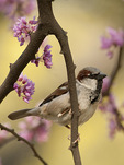 Male House Sparrow in blooming Eastern Redbud (Cercis canadensis) in mid-April.