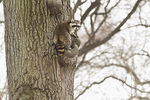 Raccoon climbing tree in late January.