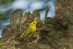 Adult male Wilson's Warbler at a termite hatch in May on spring migration.