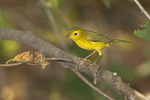 First fall female Wilson's Warbler in late August on fall migration.