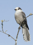 Adult Gray Jay in mid-July.