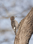 Immature Red-headed Woodpecker in mid-December.