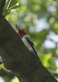 Red-headed Woodpecker in late May on spring migration.