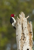 Adult Red-headed Woodpecker in mid-March.