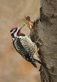 Adult male Yellow-bellied Sapsucker in mid-March.