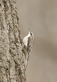 Brown Creeper in late March.