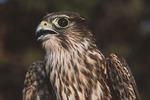 Close-up of Merlin at banding station. CAPTIVE.