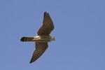 Adult female Merlin in flight in mid-February.