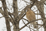 Adult Red-shouldered Hawk in mid-February.