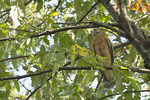 Adult Red-shouldered Hawk in early October on fall migration.