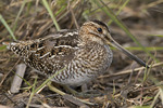Wilson's Snipe in a muddy field in early April on spring migration. Formerly Common Snipe.