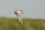 Common Tern in flight in early August carrying a Sand Lance (Ammodytes sp.).