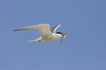 Adult Common Tern in flight in early August carrying a Sand Lance (Ammodytes sp.).