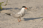 Adult Common Tern carrying a Silversides (Menidia sp.) in early August.
