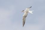 Common Tern in flight in mid-July.