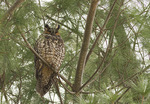 Long-eared Owl roosting in pine in early February.