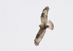 First cycle light morph Rough-legged Hawk in flight in early February.
