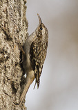 Brown Creeper attracted to suet spread on bark in early February.