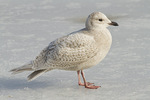 First-cycle Iceland Gull standing on ice in mid-February.