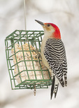 Male Red-bellied Woodpecker at suet feeder in early February.