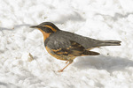 Male Varied Thrush forages below a backyard feeder in late February.