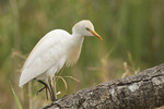Cattle Egret in breeding plumage in mid-March.