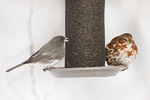 Female Dark-eyed Junco (Junco hyemalis) and Fox Sparrow (Passerella iliaca) at a thistle feeder in mid-February.