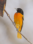 Adult male Baltimore Oriole visits a feeder for peanut butter in mid-February.