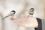 Black-capped Chickadees fed bits of peanut by hand.