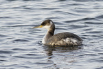 Red-necked Grebe in early March, rare for Central Park, NYC. (March 9, 2014).