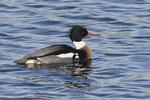 Adult male Red-breasted Merganser in early March.