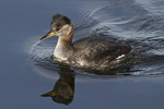 Red-necked Grebe in mid-March.